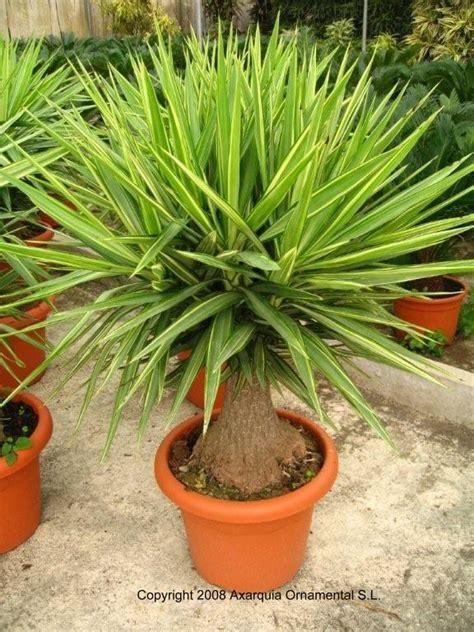 yucca elephantipes jewel garden pinterest garden