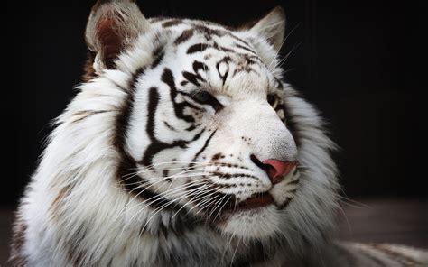 imagenes 4k tigre tigre blanc full hd fond d 233 cran and arri 232 re plan