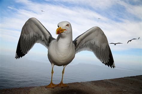 gabbiano reale mediterraneo mauro sanna fotografie di natura
