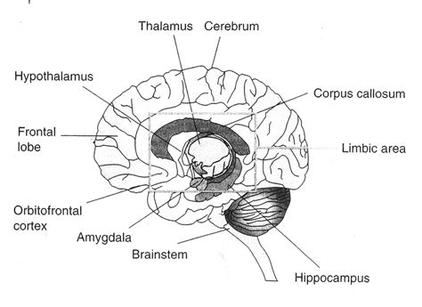 parts of the diagram simple human brain diagram parts of the brain labeled