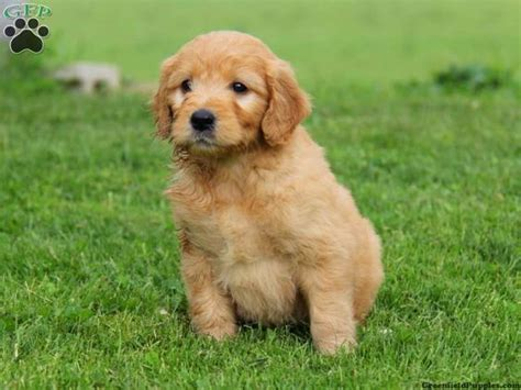 mini goldendoodle puppies for sale in the world s catalog of ideas