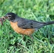 garden visitor the american robin dave s garden