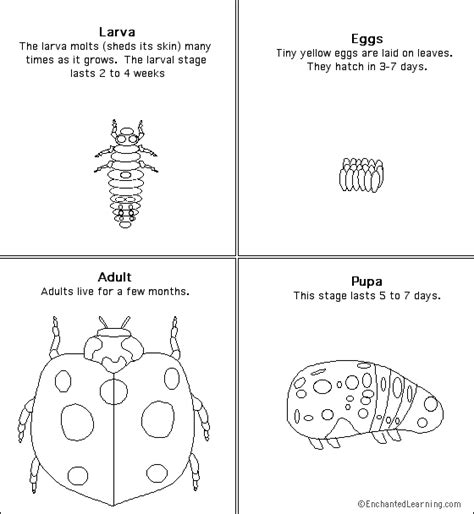 ladybug life cycle coloring page google image result for http www enchantedlearning com