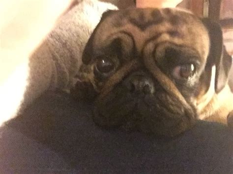 my pug can t breathe what is it with pugs