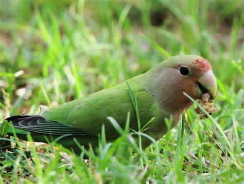 pappagallini inseparabili alimentazione l alimentazione degli inseparabili