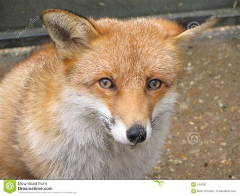 is a fox a fox stock photo image of wildlife cunning 144300