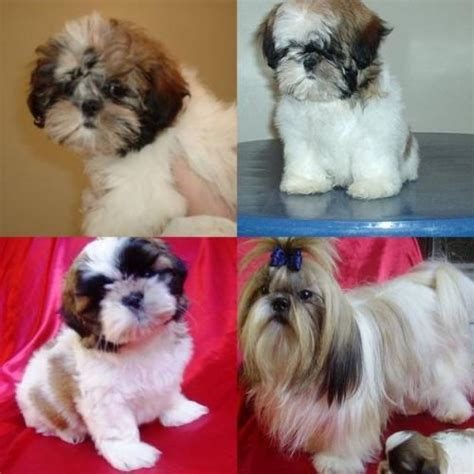 shih tzu and chow mix chow chow shih tzu mix american breeds catalogue m5xeu breeds picture