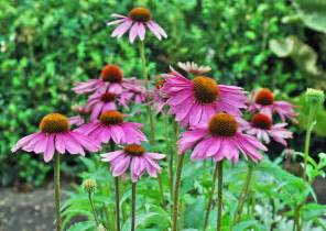 coneflower care growing and planting purple coneflower