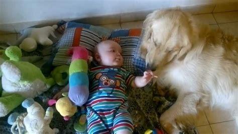 golden retriever bebe golden retriever y bebe