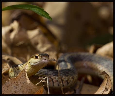 Garter Snake Facts Garter Snake Facts