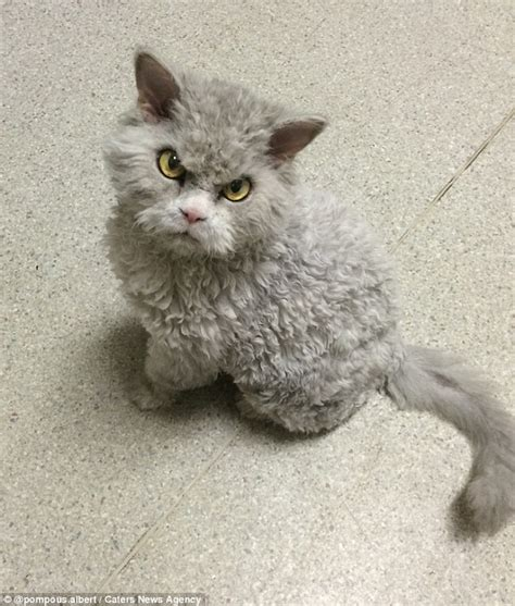 meet pompous albert a frowning cat with 44 1k instagram