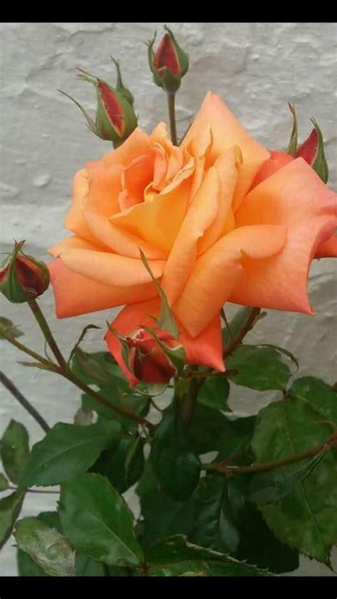 by alan shapiro beautiful flowers pinterest snuggles climbing 25 best ideas about orange flowers on pinterest orange