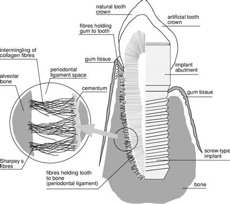 Gingival Fibers Diagram