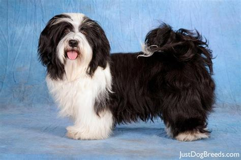 large havanese large non shedding hypoallergenic dogs breeds picture