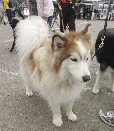 alaskan pomeranian mix of the day gorgeous malamute mix the dogs of san franciscothe dogs of san