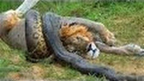 12 m 225 s locas peleas de animales captado por la c 225 mara las 10 mejores batallas de animales peleas de animales