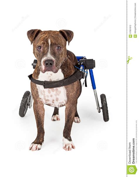 standing pit handicapped pit bull standing in wheelchair stock