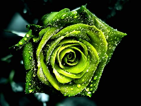 Wallpaper Of Green Rose | beautiful hd wallpapers green rose hd wallpaper