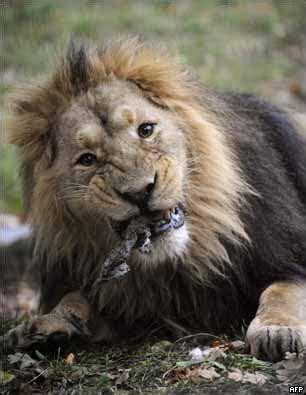 Imagenes De Leones Vs Aguilas   assunblogg animales carn 237 voros