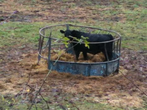 What Is A Feeder Cow livestock feeders