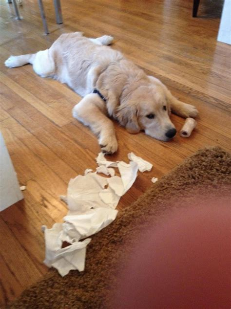 how to stop a dog messing in the house 23 guilty dogs who have no idea what happened to your stuff photos
