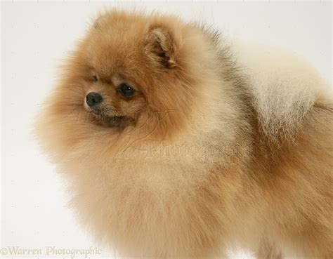 white and brown pomeranian brown and white pomeranian