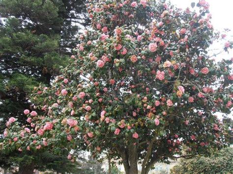 potatura camelia in vaso camellia japonica piante da giardino camellia japonica