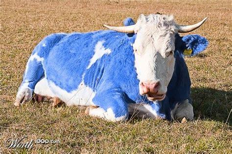 the blue cow blue cow blue animals pinterest