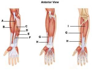 Wrist anatomy muscles wrist anatomy pictures identify the muscles of