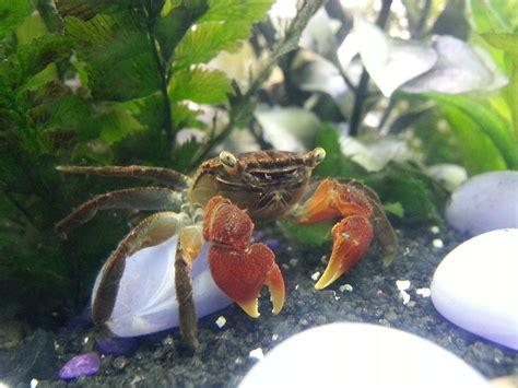 red claw crab red clawed crab care freshwater crab perisesarma bidens wikipedia