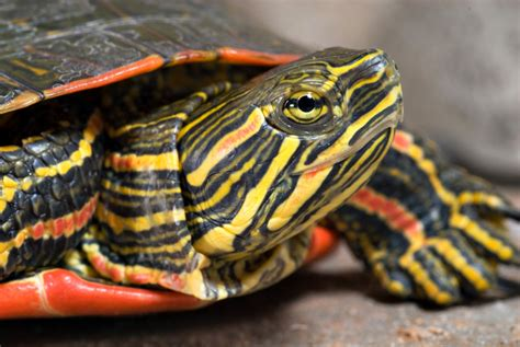 eastern painted turtle pet turtles
