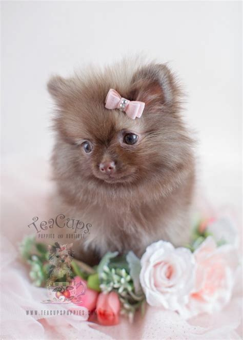 chocolate pomeranian puppy for sale tiny teacup pomeranian puppies teacups puppies boutique