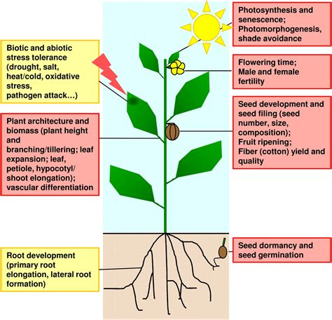 section 24 2 seed development and germination boosting crop yields with plant steroids plant cell