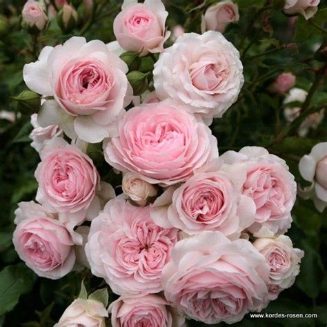 Larissa Flower Big 1000 images about roses on shrub roses fragrance and pink roses