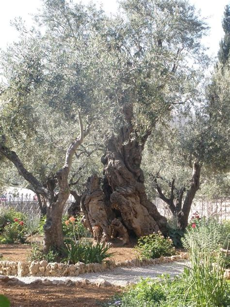 huerto de los olivos en getsemani jerusalen lugares