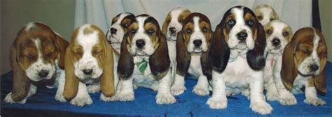 bellingham puppies bellingham bassets