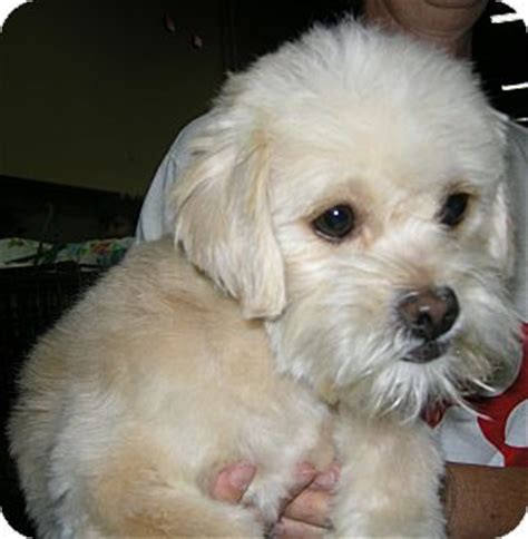 puppies for adoption in las vegas kinsey adopted a908707 las vegas nv terrier unknown type small poodle