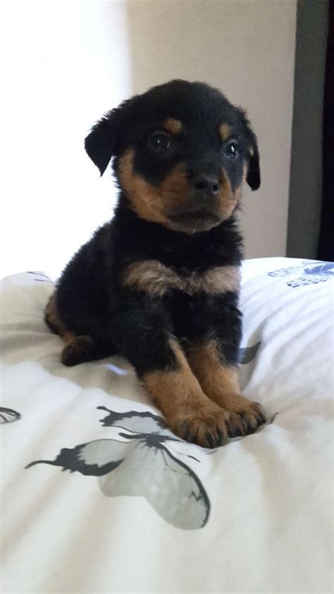 rottweiler dogs for sale uk rottweiler puppies for sale lincoln lincolnshire pets4homes