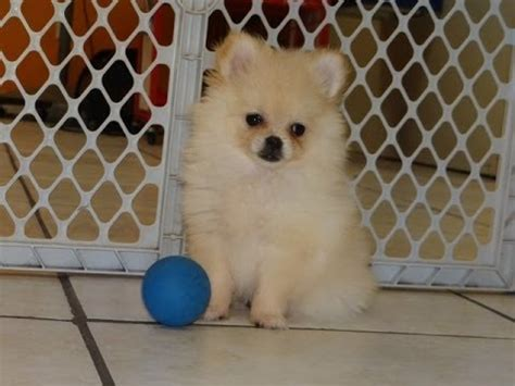pomeranian for sale tx not puppyfind craigslist oodle kijiji hoobly ebay marketplace birmingham