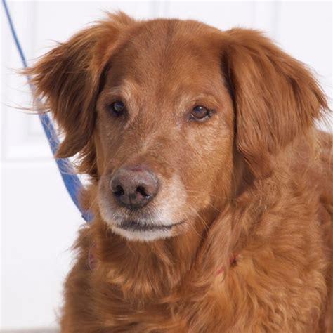 golden retriever rescue of the rockies adoptable pet spotlight buddy 1 800 petmeds cares