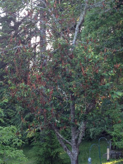 1 cherry tree brandesburton apparent disease on cherry tree ask an expert