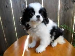 spaniel breeds that dont shed breeds picture