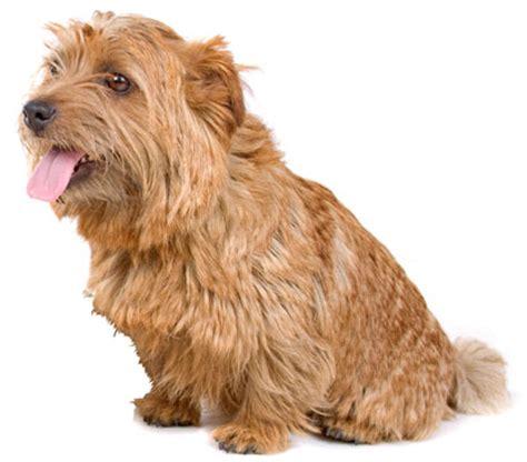 Do Norfolk Terriers Shed by Norfork Terrier On Terriers Bridgewater