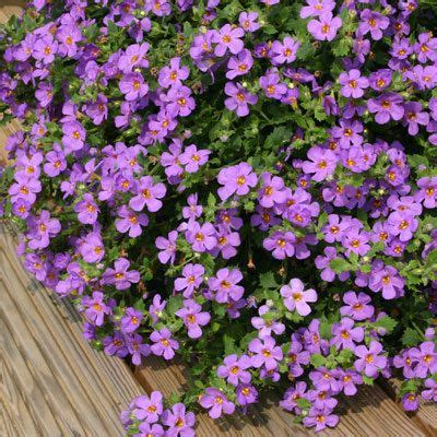 sun l for plants bacopa purple sun trailing spreading plant great