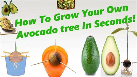 how to grow an avocado tree from seed works every time youtube
