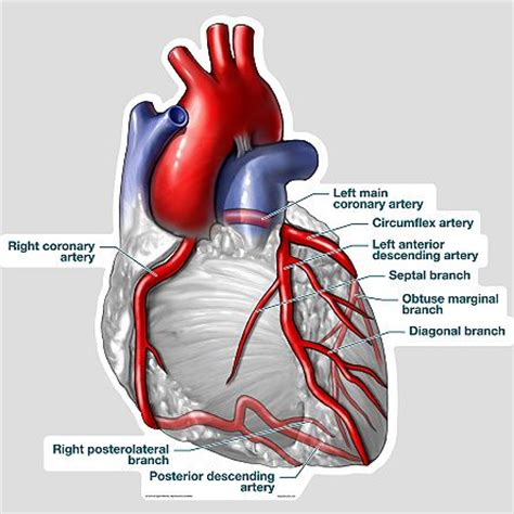 labeled artery diagram 25 best ideas about human diagram on