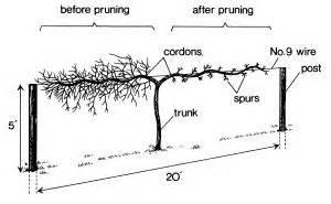 top wire cordon trellis grapevine support designs unpruned left and pruned