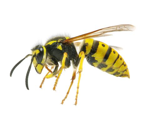 Yellow Bee wasps problems pest island nyc westchester