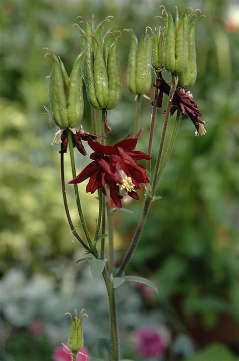 ruby port double columbine aquilegia vulgaris ruby port