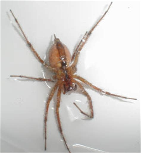 common house spiders in pa common house spiders in pa